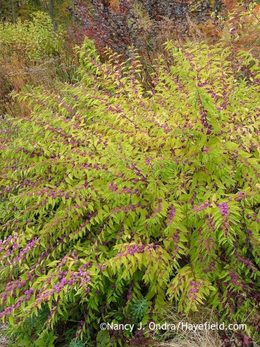 'Issai' Japanese beautyberry (Callicarpa dichotoma) developing fall color [October 22, 2013]; Nancy J. Ondra at Hayefield