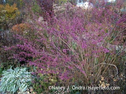 'Issai' Japanese beautyberry (Callicarpa dichotoma) with lamb's ears (Stachys byzantina) [November 17, 2007]; Nancy J. Ondra at Hayefield