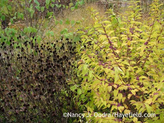 'Issai' Japanese beautyberry (Callicarpa dichotoma) in fall color with the seedheads of orange coneflower (Rudbeckia fulgida var. fulgida) [October 28, 2005]; Nancy J. Ondra at Hayefield