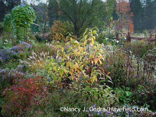 'Spring Gold' purple beautyberry (Callicarpa dichotoma) in fall color [October 11, 2011]; Nancy J. Ondra at Hayefield