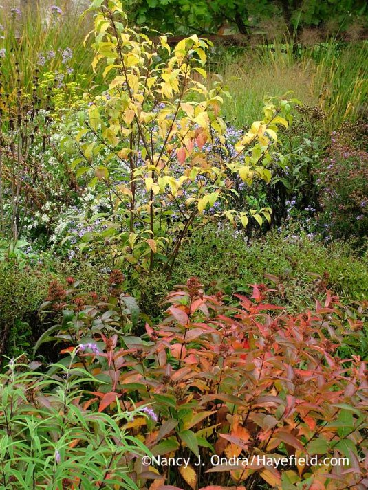 'Spring Gold' Japanese beautyberry (Callicarpa dichotoma) and southern bush honeysuckle (Diervilla sessilifolia) in fall color [October 11, 2011]; Nancy J. Ondra at Hayefield