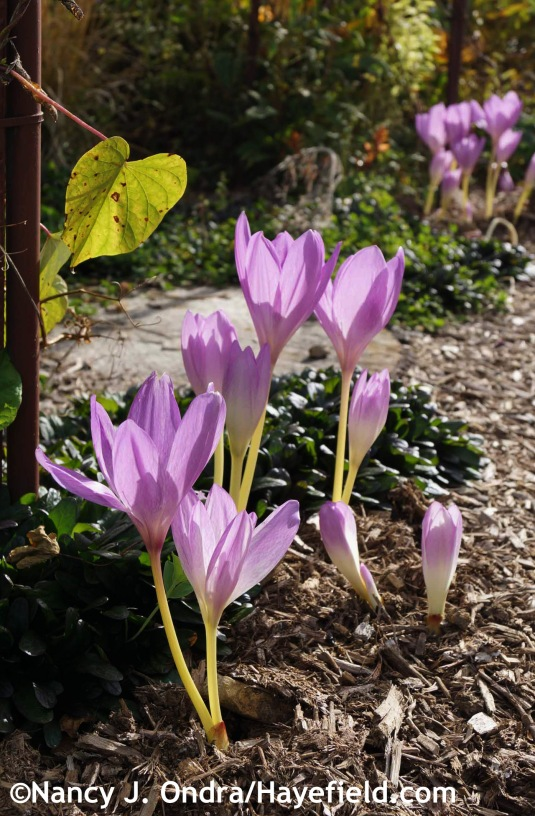 Yes, you could go the very easy route of not interplanting with colchicums, but it's kind of a missed opportunity and a waste of useful garden space. [Nancy J. Ondra at Hayefield]
