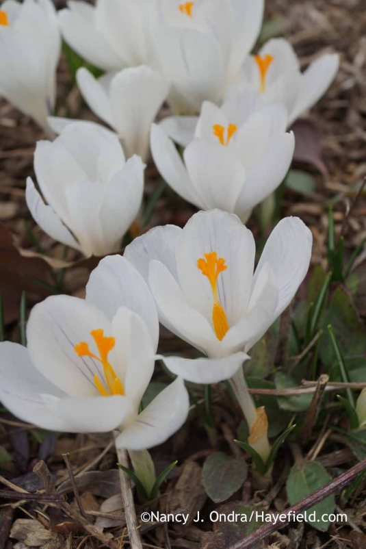 Crocus vernus Jeanne d'Arc; Nancy J. Ondra at Hayefield