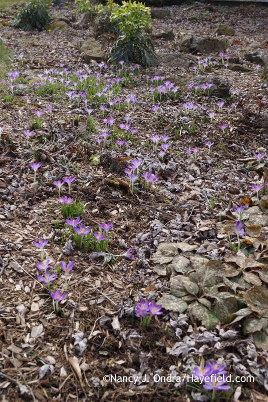 Crocus tommasinianus with Pachysandra procumbens and Helleborus foetidus; Nancy J. Ondra at Hayefield