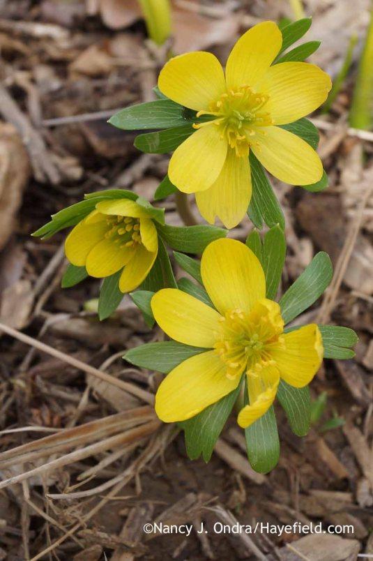 Winter aconite (Eranthis hyemalis); Nancy J. Ondra at Hayefield