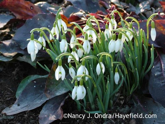 Common snowdrops (Galanthus nivalis) with the foliage of 'Dark Towers' penstemon (Penstemon) in early March; Nancy J. Ondra at Hayefield