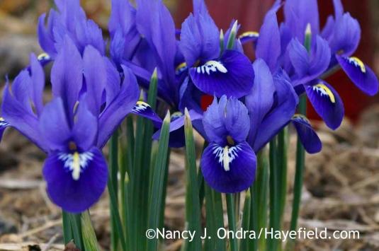 Reticulated iris (Iris reticulata); Nancy J. Ondra at Hayefield