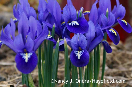 Reticulated iris (Iris reticulata); Nancy J. Ondra at Hayefield