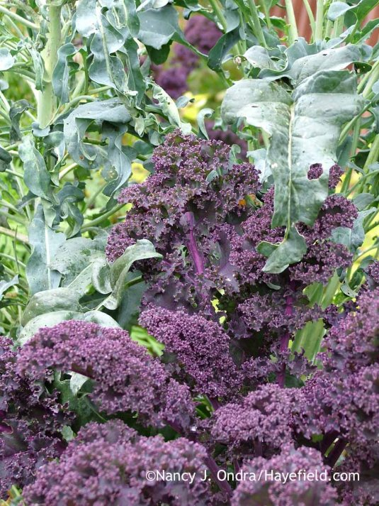 'Redbor' kale with spigarello (Italian leaf broccoli) [October 18, 2009]; Nancy J. Ondra at Hayefield