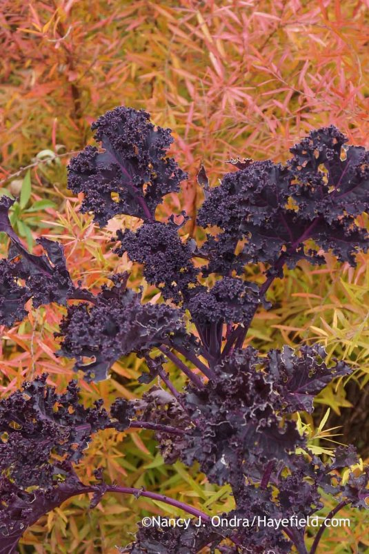 'Redbor' kale against fall-colored Mellow Yellow spirea (Spiraea thunbergii 'Ogon') [November 13, 2014]; Nancy J. Ondra at Hayefield