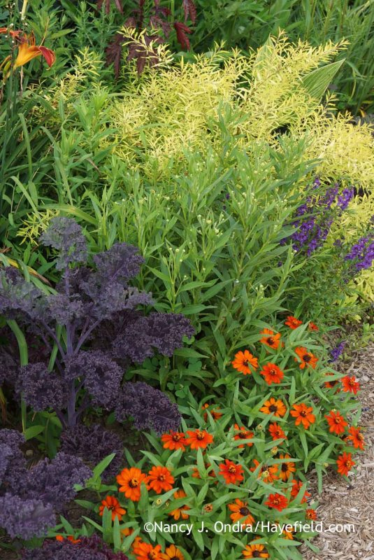 Kale Redbor 'Redbor' kale with 'Profusion Orange' zinnia, 'Ruby Tuesday' helenium (Helenium), 'AngelMist Deep Plum' angelonia (Angelonia angustifolia), and Mellow Yellow spirea (Spiraea thunbergii 'Ogon') [July 22, 2014]; Nancy J. Ondra at Hayefield