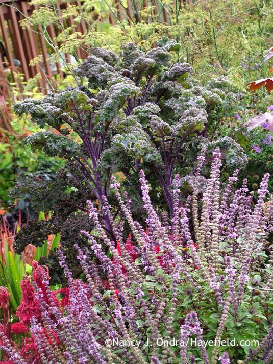'Redbor' kale with 'African Blue' basil (Ocimum) [October 4, 2008]; Nancy J. Ondra at Hayefield