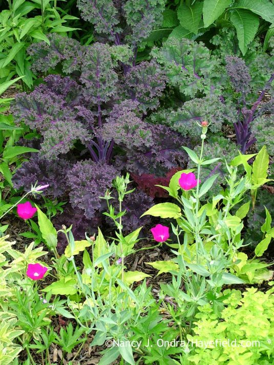 'Redbor' kale with winecups (Callirhoe involucrata) [June 22, 2007]; Nancy J. Ondra at Hayefield