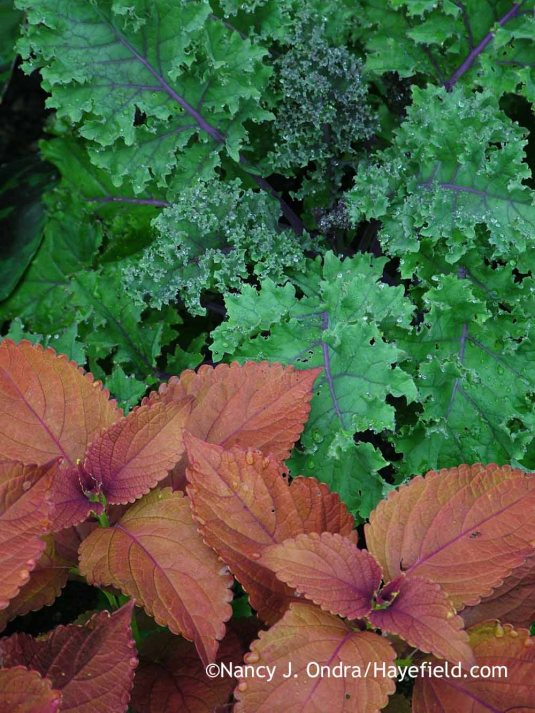 'Redbor' kale with 'Sedona' coleus [July 1, 2005]; Nancy J. Ondra at Hayefield