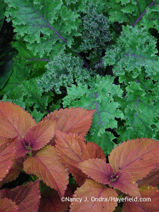 'Redbor' kale with 'Sedona' coleus [July 1, 2005]; Nancy J. Ondra at Hayefield