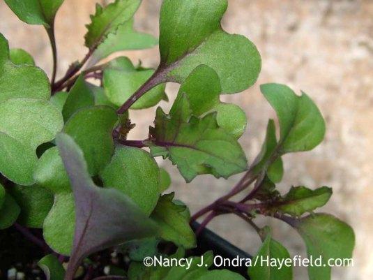 'Redbor' kale seedlings [March 23, 2009]; Nancy J. Ondra at Hayefield