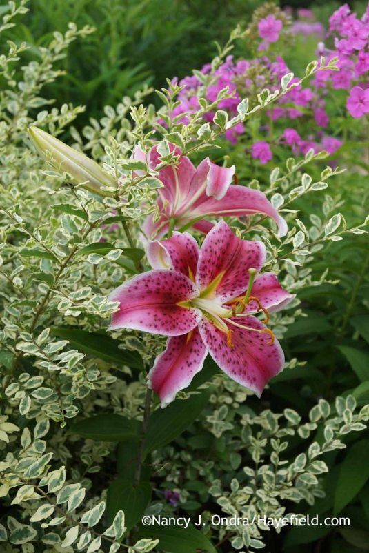 Woody-stemmed companions can also help to hold up tall-stemmed bulb blooms, as with this match of 'Swift Creek' privet (Ligustrum chinense) and 'Stargazer' lily (Lilium). [Nancy J. Ondra at Hayefield]