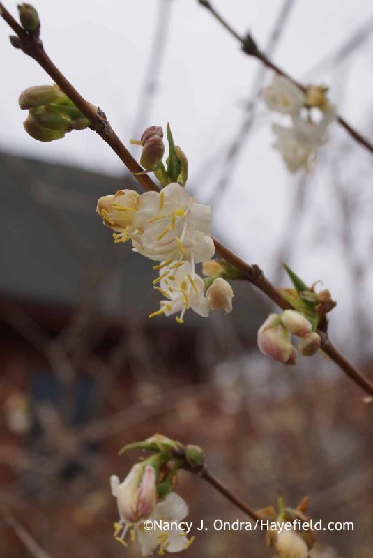 Winter honeysuckle (Lonicera fragrantissima); Nancy J. Ondra at Hayefield