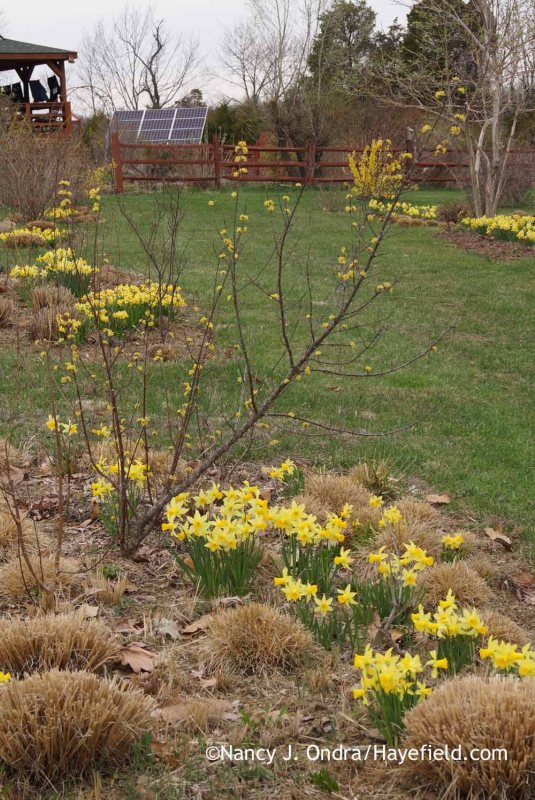 'February Gold' and 'Tete-a-Tete' daffodils (Narcissus) with dormant prairie dropseed (Sporobolus heterolepis) and fountain grasses (Pennisetum alopecuroides) in mid-April; Nancy J. Ondra at Hayefield
