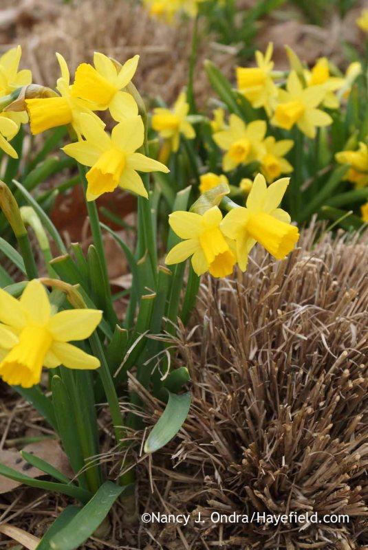 'Tete-a-Tete' daffodil (Narcissus); Nancy J. Ondra at Hayefield
