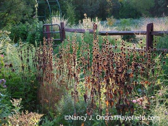 Tuberous-rooted Jerusalem sage (Phlomis tuberosa) [August 12, 2011]; Nancy J. Ondra at Hayefield