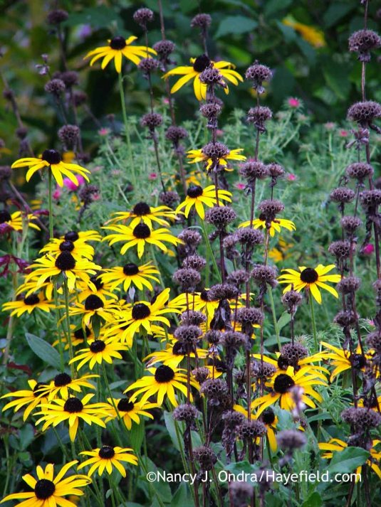Tuberous-rooted Jerusalem sage (Phlomis tuberosa) with orange coneflower (Rudbeckia fulgida var. fulgida) [August 27, 2009]; Nancy J. Ondra at Hayefield