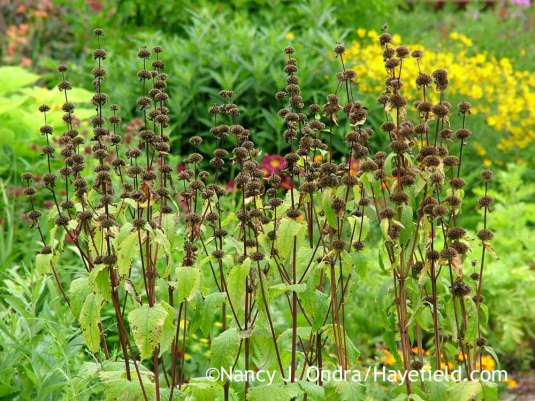 Tuberous-rooted Jerusalem sage (Phlomis tuberosa) [July 13, 2011]; Nancy J. Ondra at Hayefield