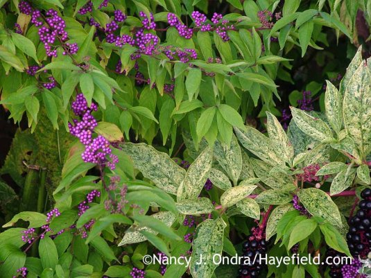 'Issai' purple beautyberry (Callicarpa dichotoma) with variegated pokeweed (Phytolacca americana 'Variegata'/'Silberstein') [September 20, 2005]; Nancy J. Ondra at Hayefield