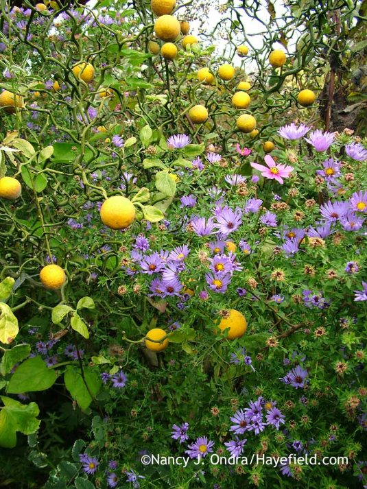 'Flying Dragon' hardy orange (Poncirus [Citrus] trifoliata) with aromatic aster (Symphyotrichum oblongifolium) [October 18, 2008]; Nancy J. Ondra at Hayefield