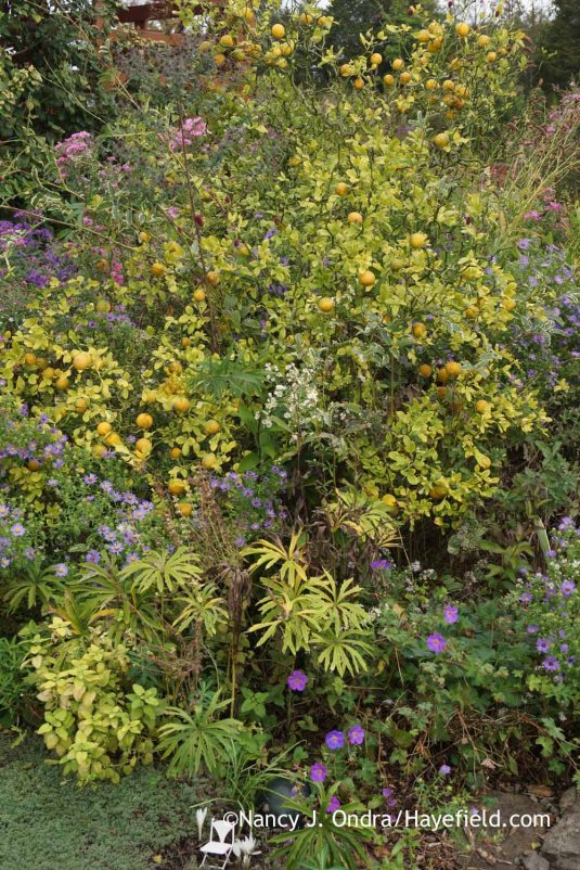'Flying Dragon' hardy orange (Poncirus [Citrus] trifoliata) with aromatic aster (Symphyotrichum oblongifolium), shredded umbrella plant (Syneilesis aconitifolia), and Rozanne hardy geranium (Geranium 'Gerwat') [October 4, 2015]; Nancy J. Ondra at Hayefield