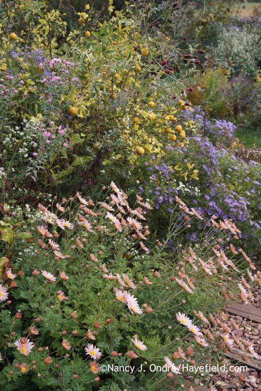 'Flying Dragon' hardy orange (Poncirus [Citrus] trifoliata) with 'Sheffield Pink' mum (Chrysanthemum), New England asters (Symphyotrichum novae-angliae), 'Dali Marble' burnet (Sanguisorba), and aromatic aster (Symphyotrichum oblongifolium) [October 17, 2015]; Nancy J. Ondra at Hayefield