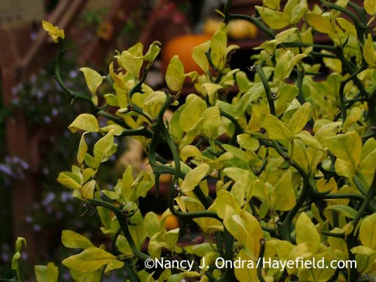 'Flying Dragon' hardy orange (Poncirus [Citrus] trifoliata) in fall color [November 1, 2013]; Nancy J. Ondra at Hayefield