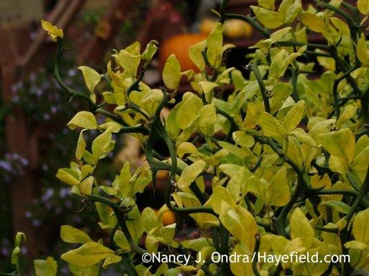 'Flying Dragon' hardy orange (Poncirus [Citrus] trifoliata) in fall color [November 1, 2013]; Nancy J. Ondra at Hayefield