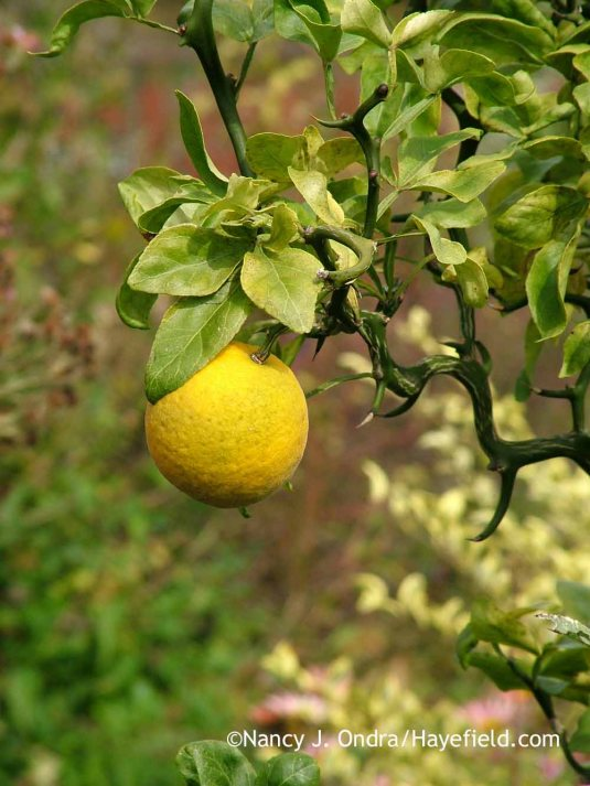 'Flying Dragon' hardy orange (Poncirus [Citrus] trifoliata) ripe fruit [October 18, 2012]; Nancy J. Ondra at Hayefield
