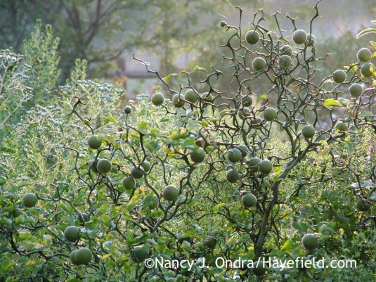 'Flying Dragon' hardy orange (Poncirus [Citrus] trifoliata) [August 30, 2010] unripe fruit; Nancy J. Ondra at Hayefield