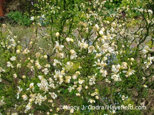 'Flying Dragon' hardy orange (Poncirus [Citrus] trifoliata) in bloom [May 1, 2008]; Nancy J. Ondra at Hayefield