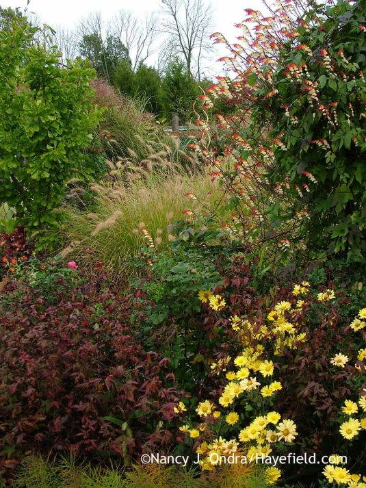American ipecac (Porteranthus stipulatus) in fall color with 'Harmony' mum (Chrysanthemum), 'Frau Dagmar' rose, 'Cassian' fountain grass (Pennisetum alopecuroides), 'Saratoga' ginkgo (Ginkgo biloba), and Spanish flag (Mina lobata) [September 30, 2013]; Nancy J. Ondra at Hayefield