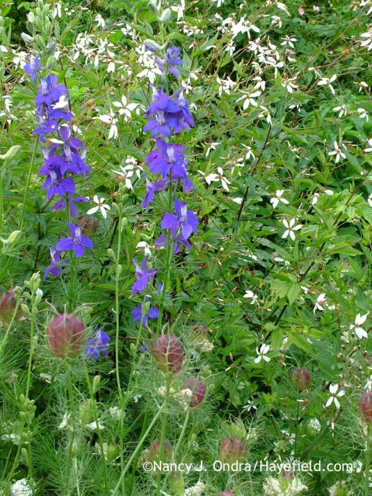American ipecac (Porteranthus stipulatus) with larkspur (Consolida ajacis) and 'Cramers' Plum' love-in-a-mist (Nigella damascena) [June 14, 2008]; Nancy J. Ondra at Hayefield