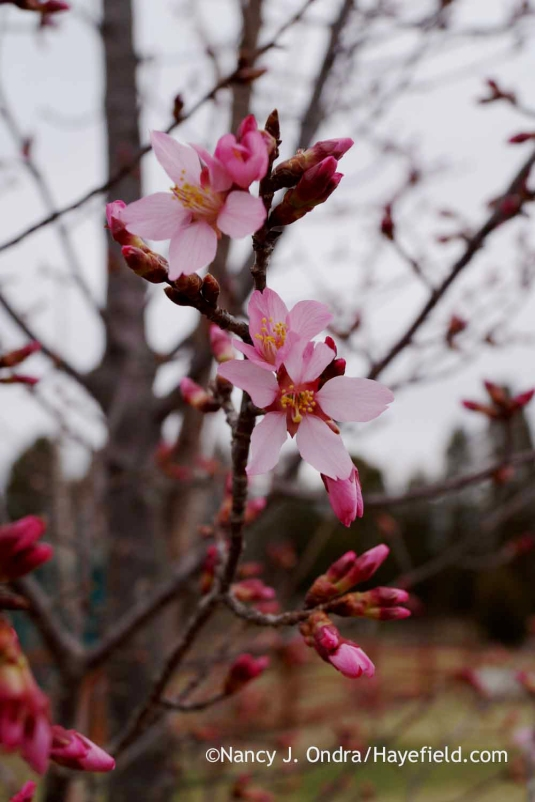 'Okame' flowering cherry (Prunus); Nancy J. Ondra at Hayefield