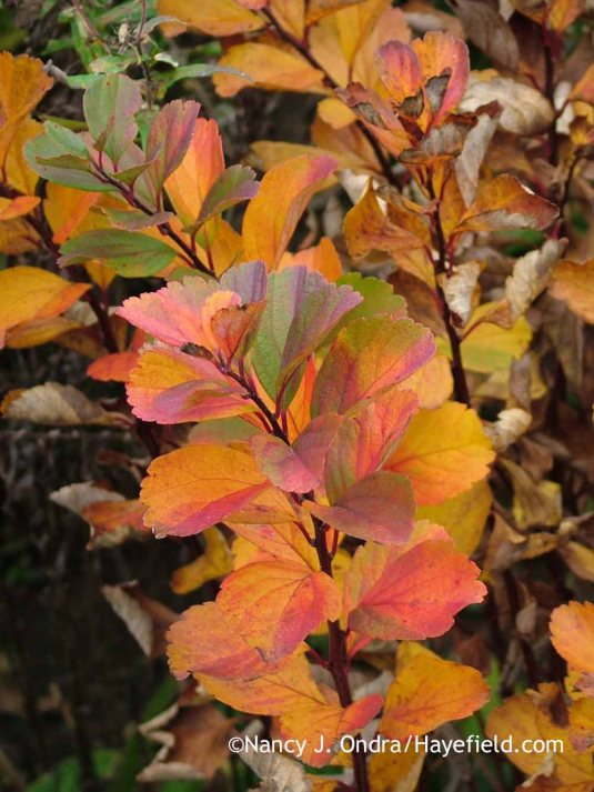'Tor' birchleaf spirea (Spiraea betulifolia) in fall color [October 26, 2012]; Nancy J. Ondra at Hayefield