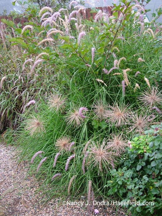 Once they're dry, star-of-Persia (Allium christophii) seedheads are study enough to simply pluck out of the ground and move elsewhere. One year, they didn't work with the summer planting I wanted to use in their bed, so I tossed them into a clump of 'Karley Rose' Oriental fountain grass (Pennisetum orientale) across the path; Nancy J. Ondra at Hayefield