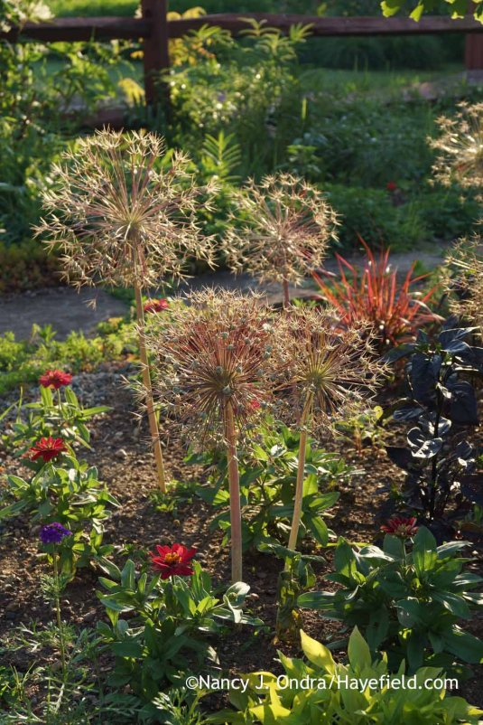 Star-of-Persia (Allium christophii) is even more interesting post-bloom than it is at its peak. The developing seedheads are garden art at its finest; Nancy J. Ondra at Hayefield