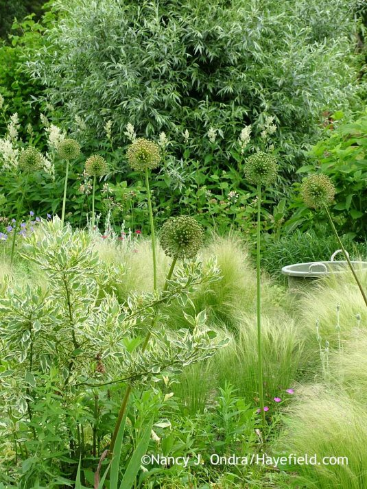 Their bold shape makes the seedheads of 'Gladiator' allium (Allium) a standout in this otherwise quiet scene with 'Silver and Gold' yellow-twig dogwood (Cornus sericea), Mexican feather grass (Stipa [Nassella] tenuissima), giant fleeceflower (Persicaria polymorpha), and silver willow (Salix alba var. sericea); Nancy J. Ondra at Hayefield
