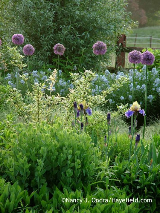 'Gladiator' allium (Allium) with 'Silver and Gold' yellow-twig dogwood (Cornus sericea), 'Edith Wolford' bearded iris, and--in the back--Arkansas bluestar (Amsonia hubrichtii); Nancy J Ondra at Hayefield