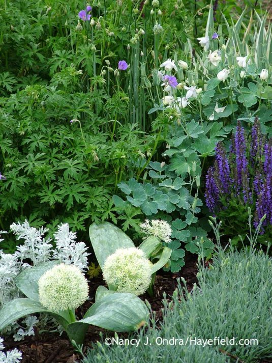 'Ivory Queen' Turkestan onion (Allium karataviense) with dwarf white fan columbine (Aquilegia flabellata var. pumila 'Alba'), 'Marcus' perennial salvia (Salvia), 'Frosty Fire' pink (Dianthus), and 'Brookside' hardy geranium (Geranium); Nancy J. Ondra at Hayefield