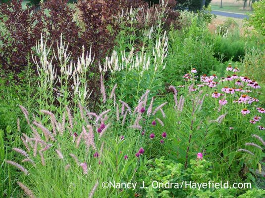 Drumstick allium (Allium sphaerocephalon) with 'Karley Rose' Oriental fountain grass (Pennisetum orientale), Culver's root (Veronicastrum virginicum), and purple coneflower (Echinacea purpurea); Nancy J. Ondra at Hayefield