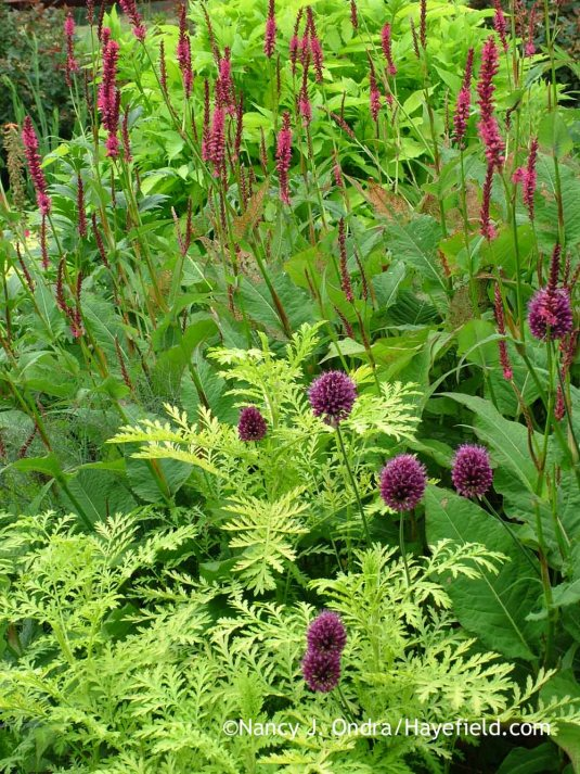 Drumstick allium (Allium sphaerocephalon) with 'Isla Gold' tansy (Tanacetum vulgare) and 'Taurus' mountain fleeceflower (Persicaria amplexicaulis); Nancy J. Ondra at Hayefield