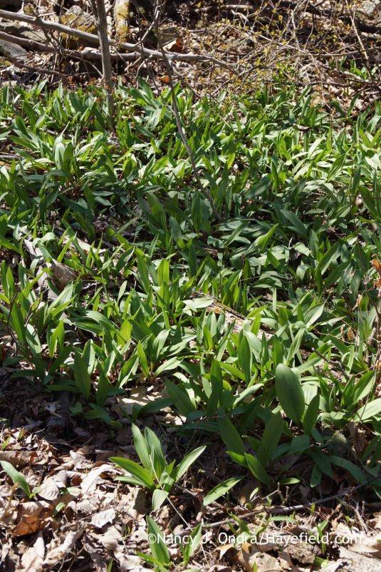 Ramps (Allium tricoccum); Nancy J. Ondra at Hayefield