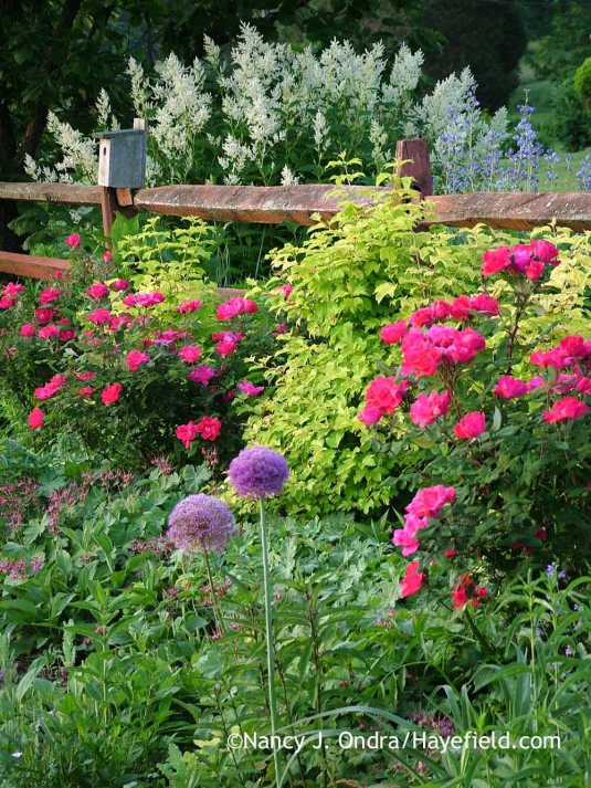 'Gladiator' giant allium (Allium) with Knock Out rose (Rosa 'Radrazz'), golden European cranberrybush viburnum (Viburnum opulus 'Aureum'), and giant fleeceflower (Persicaria polymorpha); Nancy J. Ondra at Hayefield