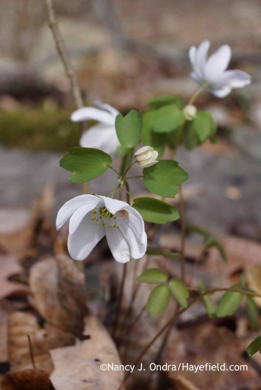 Rue anemone (Anemonella thalictroides [Thalictrum thalictroides]); Nancy J. Ondra at Hayefield